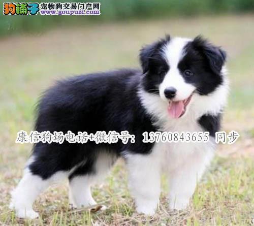 深圳哪里有卖边牧 深圳边牧犬价格多少 转让买卖