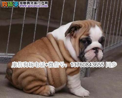 深圳英国斗牛犬价格多少钱 深圳哪里有卖英斗犬