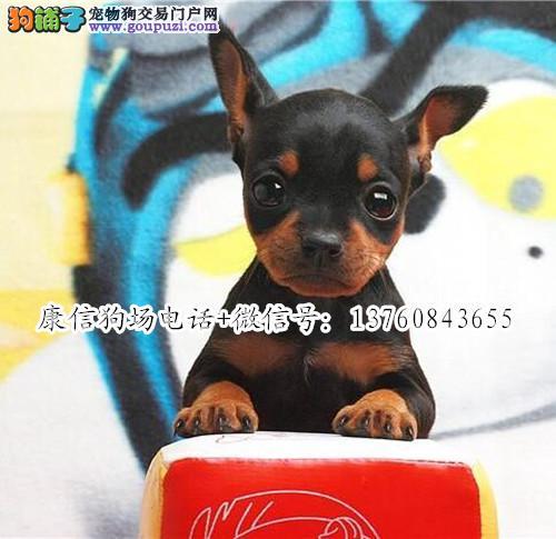深圳哪里有卖小鹿犬 深圳小鹿犬价格多少 转让买卖