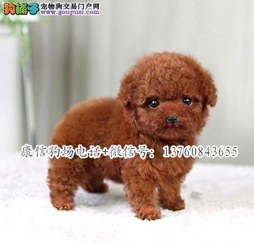 深圳哪里有卖贵宾犬 深圳贵宾价格多少 转让买卖