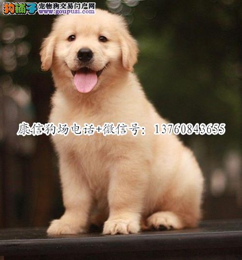 深圳哪里有卖金毛犬 深圳金毛价格多少 转让买卖