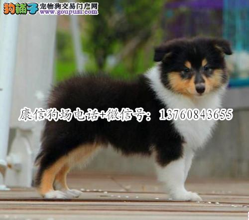 深圳哪里有卖苏牧犬 深圳苏牧犬价格多少 转让买卖