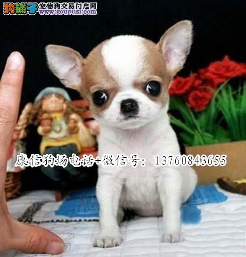 深圳哪里有卖吉娃娃 深圳吉娃娃价格多少 转让买卖