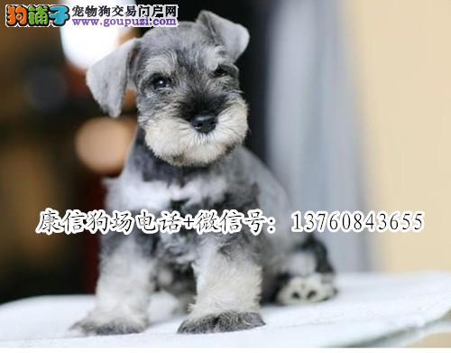 深圳哪里有卖雪纳瑞 深圳雪纳瑞价格多少 深圳康信狗场