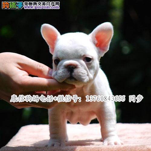 深圳哪里有卖法国斗牛犬 深圳法斗价格多少 转让买卖