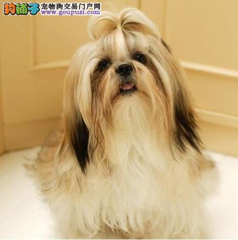 深圳哪里有卖西施犬 深圳西施犬价格多少 转让买卖