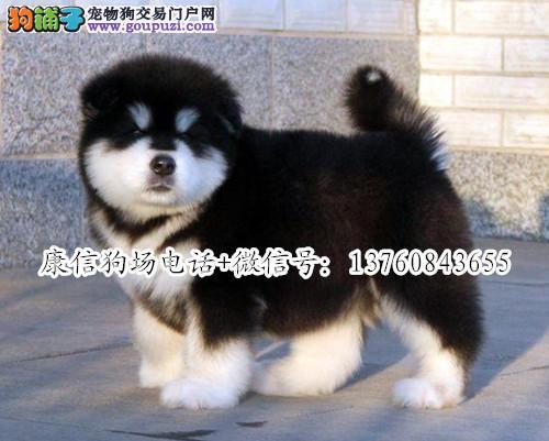深圳哪里有卖阿拉斯加 深圳阿拉斯加价格多少 雪橇犬