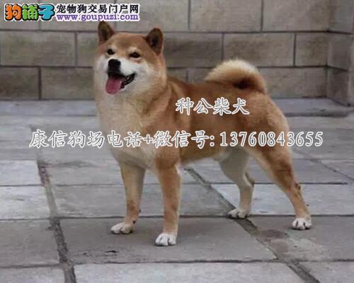 深圳哪里有卖柴犬 深圳纯种柴犬一般价格是多少
