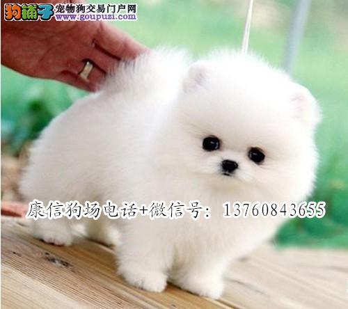 深圳哪里有卖博美犬 深圳博美价格多少 深圳康信狗场