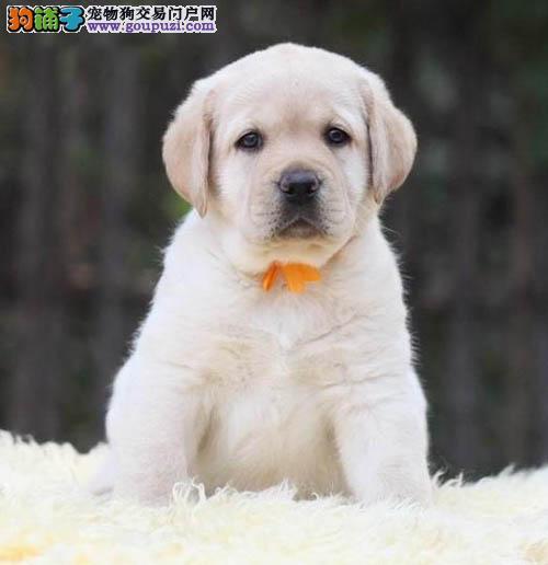 东莞哪里有卖拉布拉多 东莞拉多幼犬价格多少转让买卖