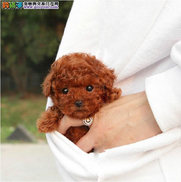 哈尔滨CKU认证犬舍出售高品质茶杯犬赛级品质血统保障