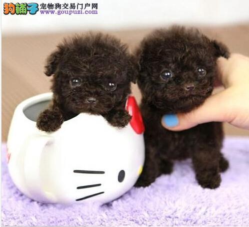 韩系茶杯犬口袋茶杯泰迪熊狗超小体