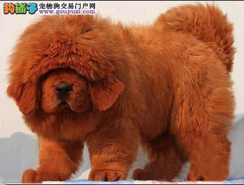 中山哪里有卖藏獒幼犬中山藏獒价格多少 转让买卖