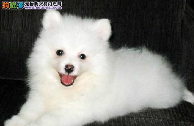 权威机构认证犬舍 专业培育银狐犬幼犬终身售后协议