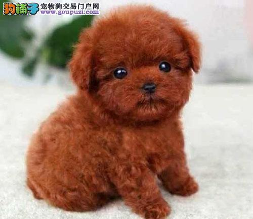 中山哪里有卖贵宾犬 中山康信狗场专业繁殖纯种贵宾犬