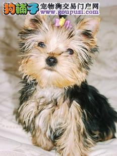 苏州哪里有纯种约克夏幼犬出售 苏州约克夏价格