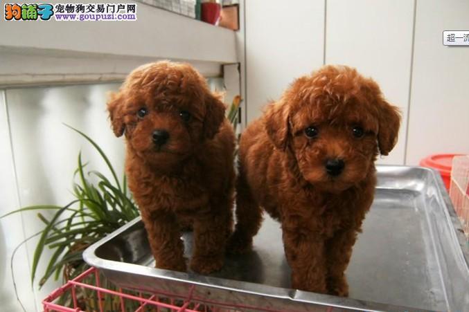 苏州哪里卖泰迪犬 纯种泰迪幼犬什么价格
