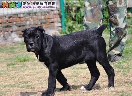 顶级优秀的纯种卡斯罗犬热销中全国十佳犬舍