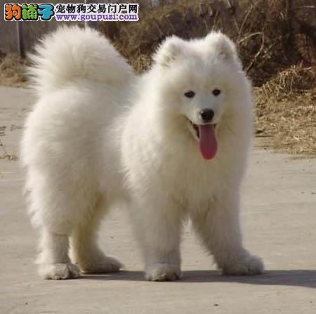 雪白色温顺可爱微笑天使萨摩耶雪橇犬出售可上门可送货