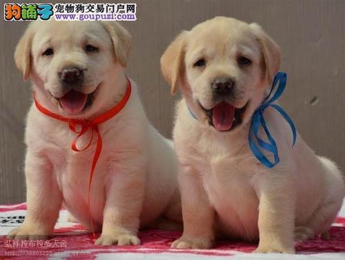 专业繁殖纯种拉布拉多导盲犬 温顺听话 纯种健康保证