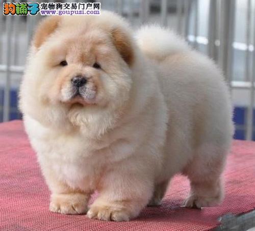 买纯种松狮犬首选广东康信狗场,纯种健康,签署协议
