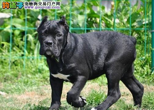 纯种意大利卡斯罗对外出售转让幼犬保品质可借配