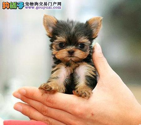金头银背约克夏幼犬、公母均有、疫苗齐全、欢迎联系