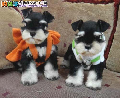 出售纯种高品质超可爱雪纳瑞幼犬 精品雪纳瑞老头狗