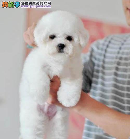 品相好毛色佳女生最爱比熊犬 可爱迷人卷毛棉花糖比熊