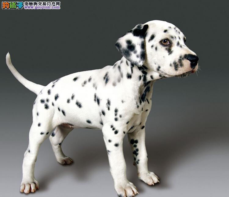 出售聪明伶俐青岛斑点狗品相极佳签订协议包细小犬瘟热