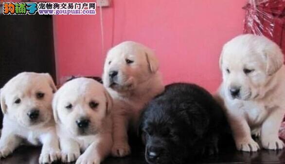 哈尔滨出售精品拉布拉多高智商赛级宠物狗