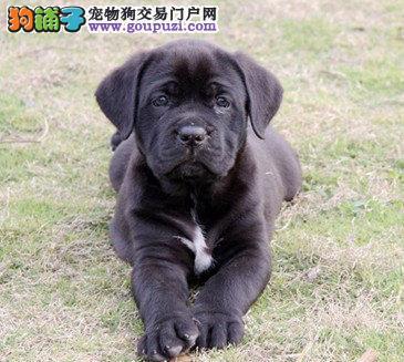 多种颜色的武汉卡斯罗犬找爸爸妈妈全国十佳犬舍