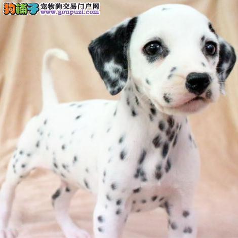 极品斑点狗幼犬、保证品质一流、质保健康90天