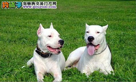 长沙纯种杜高犬多少钱一只 是纯种健康的吗
