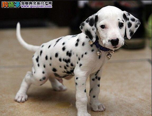 精品斑点狗幼犬一对一视频服务买着放心诚信经营三包终身协议