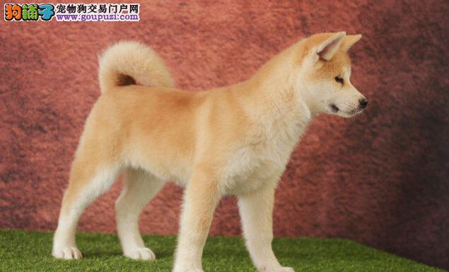 国际注册犬舍 出售极品赛级柴犬幼犬当日付款包邮