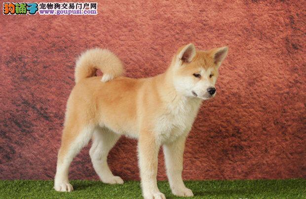 重庆犬舍低价热销 柴犬血统纯正期待您的咨询