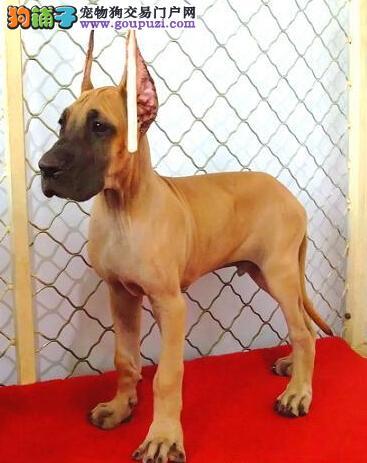 知名犬舍出售多只赛级大丹犬品质一流三包终身协议