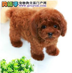 出售精品纯种韩系上海泰迪犬 非诚勿扰可接受提前预定