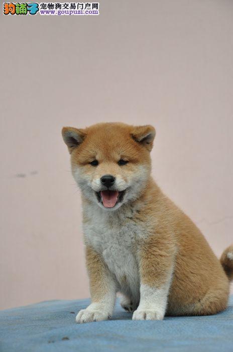 纯种赛级柴犬 一宠一证证件齐全 三年质保协议