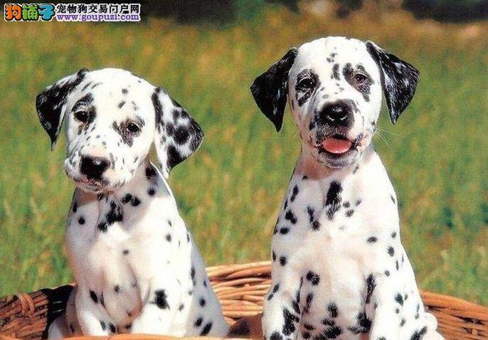 高品质斑点狗幼犬,血统认证保健康,诚信经营保障