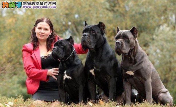 家养卡斯罗犬出售、假一赔十纯度第一、购犬可签协议