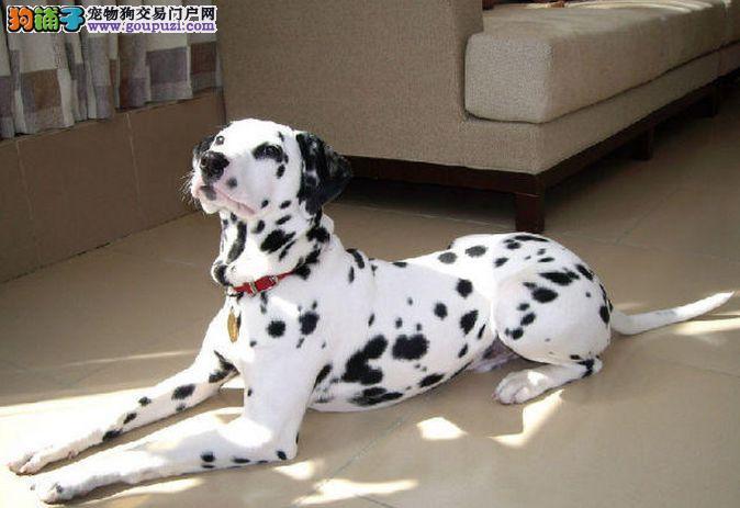 纯种斑点狗幼犬 自家繁殖保健康 当天付款包邮