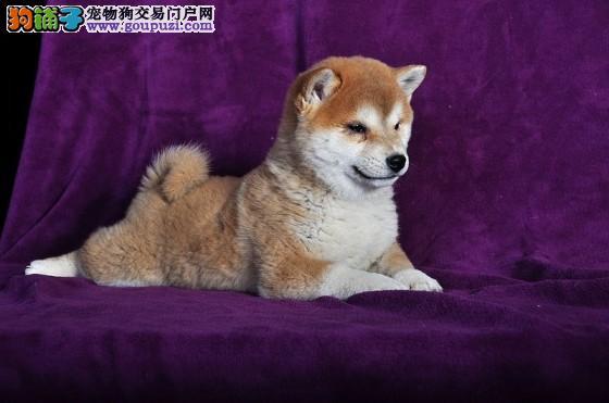 西安出售柴犬颜色齐全公母都有欢迎爱狗人士上门选购