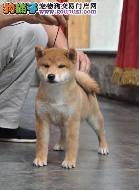 颜色全品相佳的柴犬纯种宝宝热卖中欢迎爱狗人士上门选购