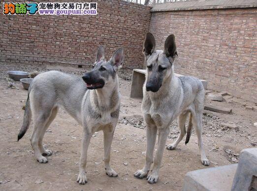 黑狼犬价格 哪里有卖黑狼犬的