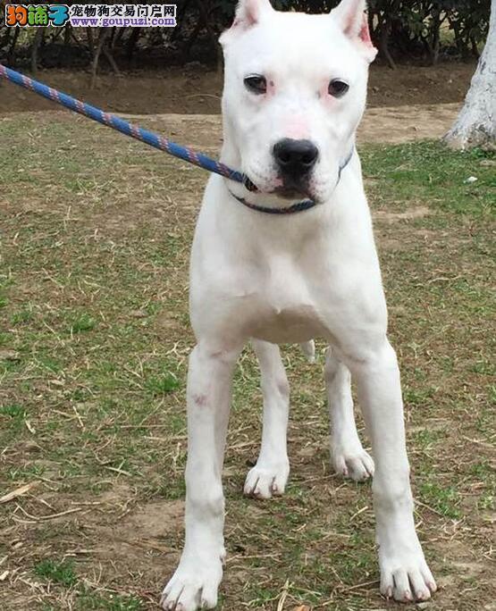 知名犬舍出售多只赛级杜高犬签订协议包细小犬瘟热
