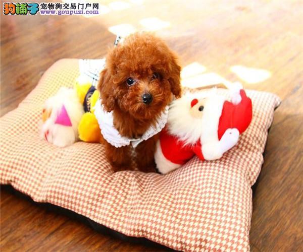 茶杯泰迪,玩具泰迪,迷你泰迪,均有待售,可看狗。