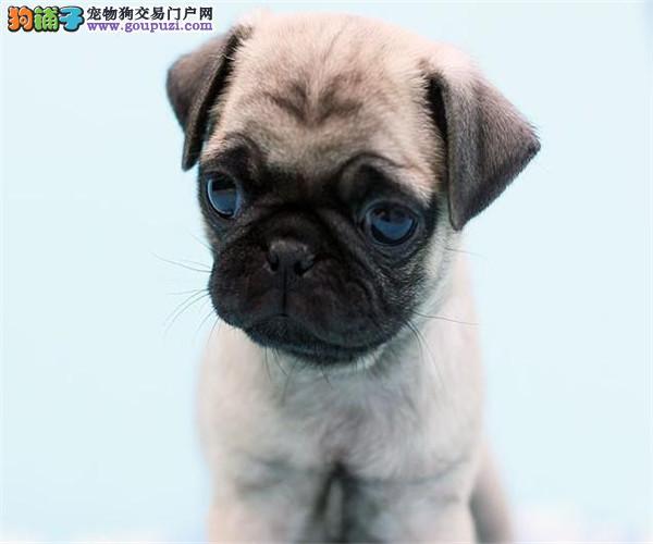 热销巴哥犬颜色齐全可见父母质量三包多窝可选