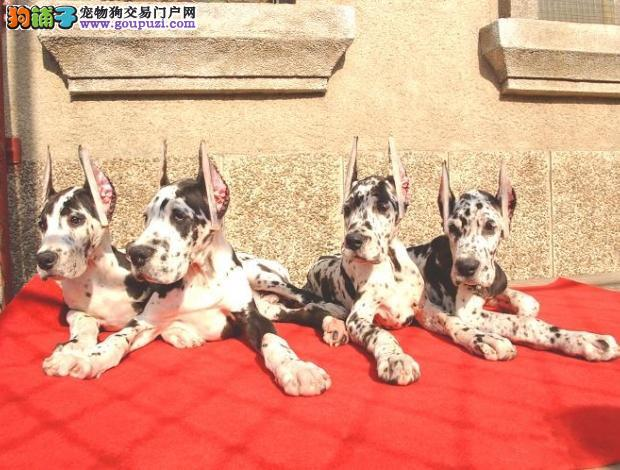 出售大丹犬幼犬品质好有保障我们承诺售后三包
